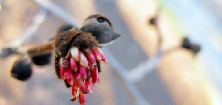 Parrotia persica 'Pendula'