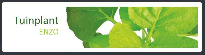 Tuinplant ENZO