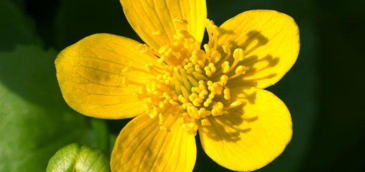 De Caltha palustris ingezoomd
