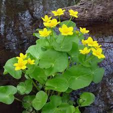De Caltha palustris bij water vijver
